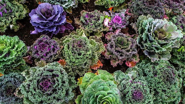 varieties-of-kale-1167557__340